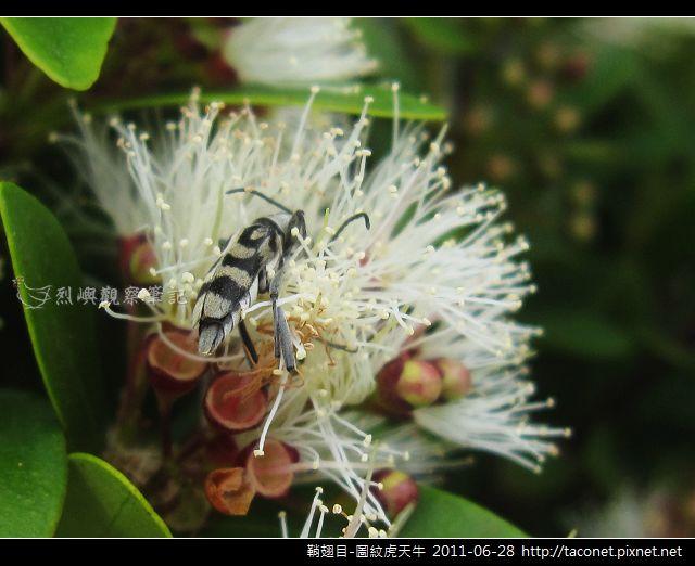 鞘翅目-圖紋虎天牛_03