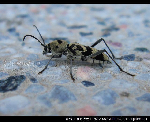 鞘翅目-圖紋虎天牛_05