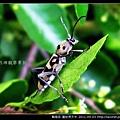鞘翅目-圖紋虎天牛_11