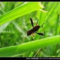 半翅目-條蜂緣椿象_01