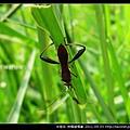 半翅目-條蜂緣椿象_02