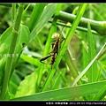 半翅目-條蜂緣椿象_03