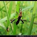 半翅目-條蜂緣椿象_04