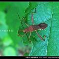 半翅目-條蜂緣椿象_05