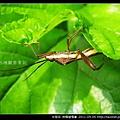 半翅目-條蜂緣椿象_07