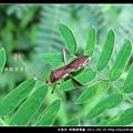 半翅目-條蜂緣椿象_10