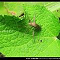 半翅目-條蜂緣椿象_11