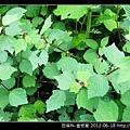 田麻科-垂桉草_05