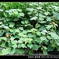 田麻科-垂桉草_06