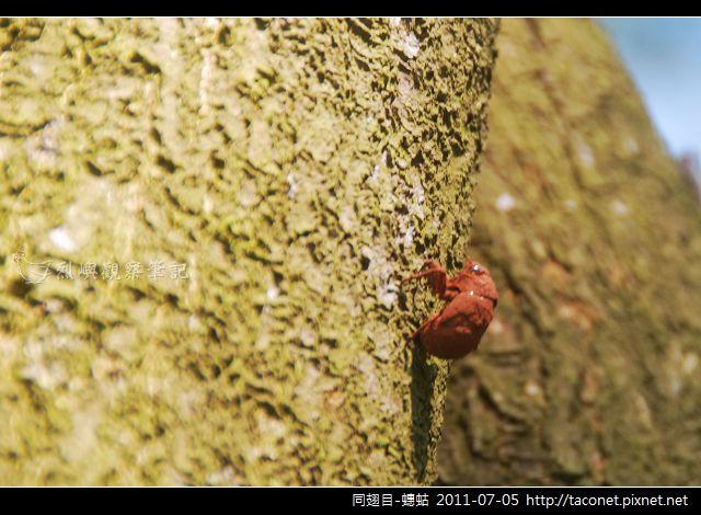 同翅目-蟪蛄_02