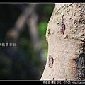 同翅目-蟪蛄_05