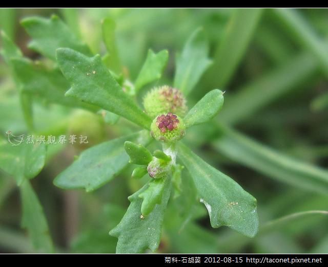 菊科-石胡荽_04