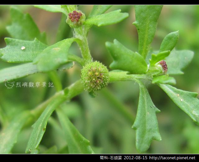 菊科-石胡荽_05