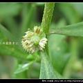 菊科-石胡荽_08