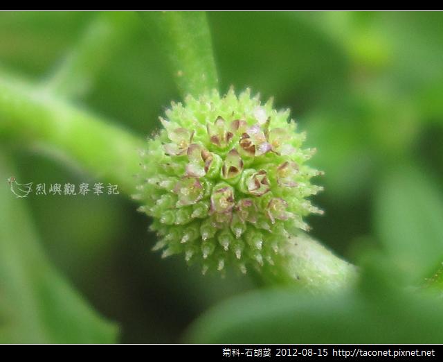 菊科-石胡荽_09