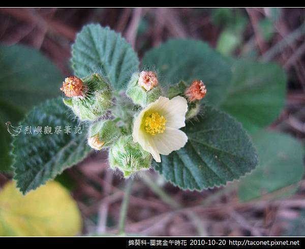 錦葵科-圓葉金午時花_03
