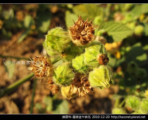 錦葵科-圓葉金午時花_07