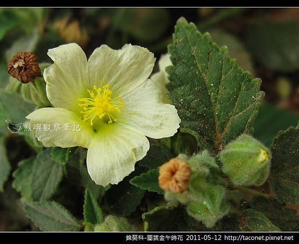 錦葵科-圓葉金午時花_08