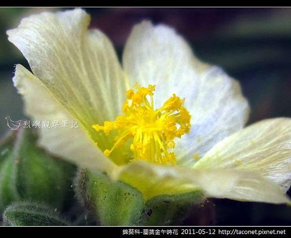 錦葵科-圓葉金午時花_09