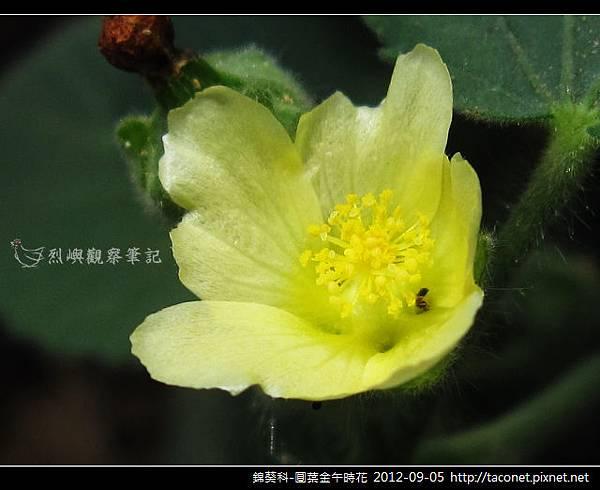 錦葵科-圓葉金午時花_13