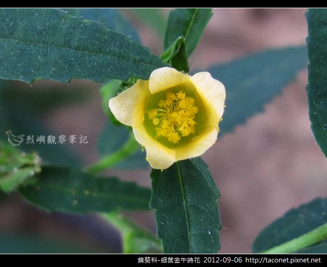 錦葵科-細葉金午時花_06