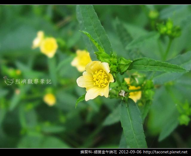 錦葵科-細葉金午時花_10