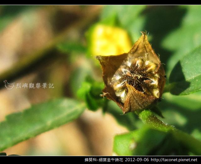 錦葵科-細葉金午時花_12