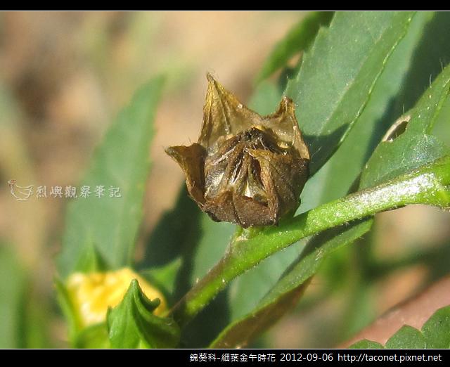錦葵科-細葉金午時花_14
