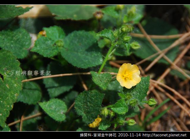 錦葵科-澎湖金午時花_763