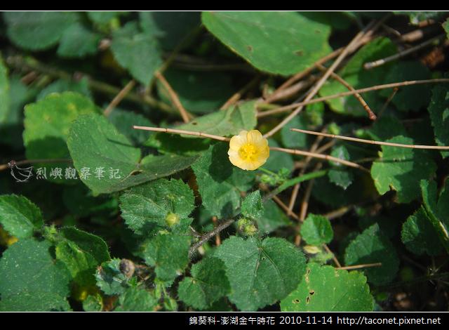 錦葵科-澎湖金午時花_764
