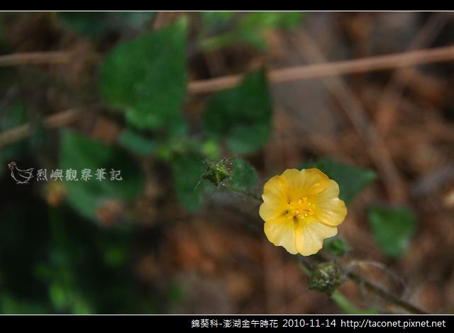 錦葵科-澎湖金午時花_765