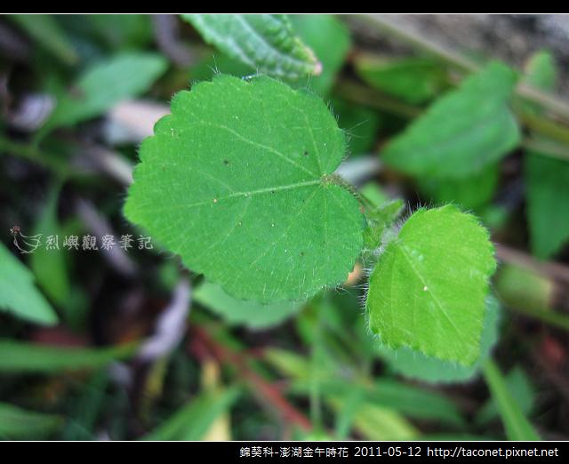 錦葵科-澎湖金午時花_768