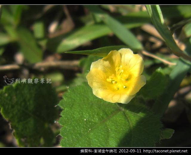 澎湖金午時花_03