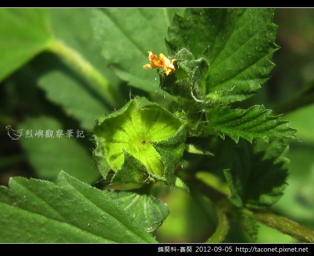 錦葵科-賽葵_09