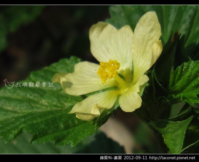 錦葵科-賽葵_13