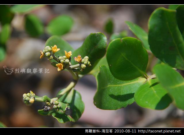 馬鞭草科-海茄苳_05