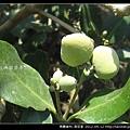 馬鞭草科-海茄苳_09
