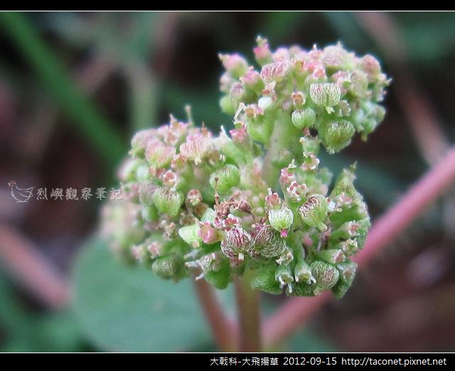大戟科-大飛揚草_06