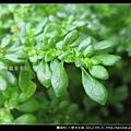 蕁麻科-小葉冷水麻_03