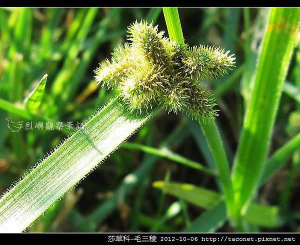 莎草科-毛三稜_09