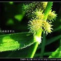 莎草科-毛三稜_08