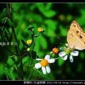 蛺蝶科-孔雀蛺蝶_02