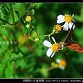 蛺蝶科-孔雀蛺蝶_05