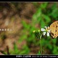 蛺蝶科-孔雀蛺蝶_08