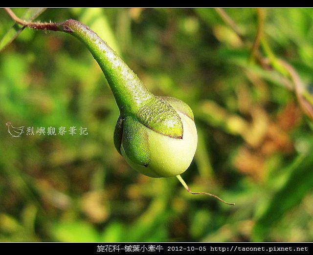 旋花科-槭葉小牽牛_01