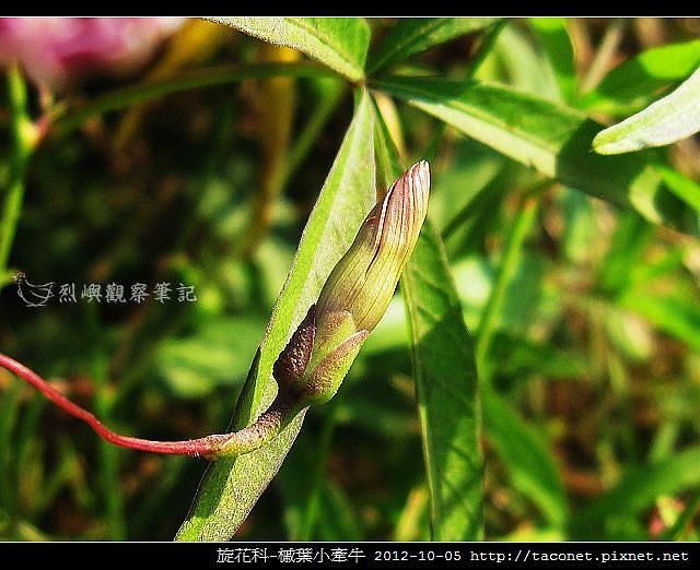 旋花科-槭葉小牽牛_03