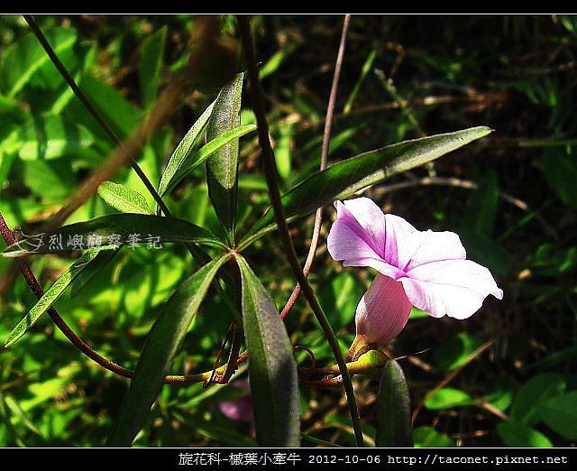 旋花科-槭葉小牽牛_06