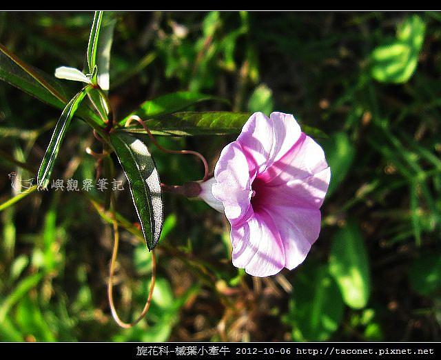 旋花科-槭葉小牽牛_05