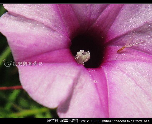 旋花科-槭葉小牽牛_08