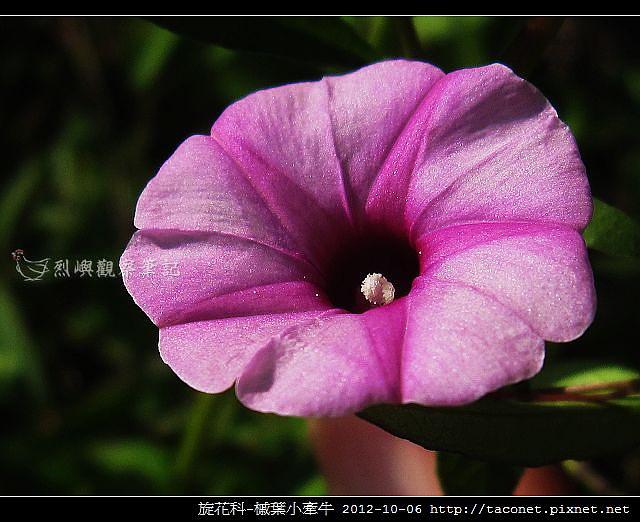 旋花科-槭葉小牽牛_07